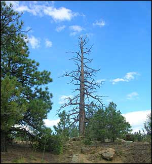 An old snag in Cruces Basin Wilderness
