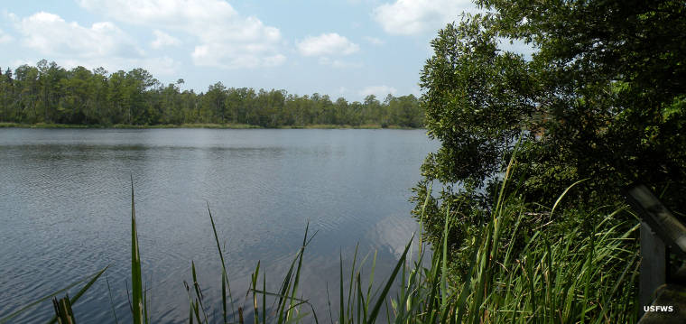 A freshwater pool at Alligator River National Wildlife Refuge