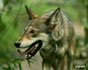 An endangered red wolf at Alligator River NWR