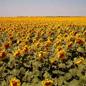 Sunflowers growing in North Dakota