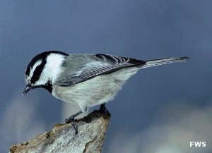 A chickadee at Cedar Point National Wildlife Refuge