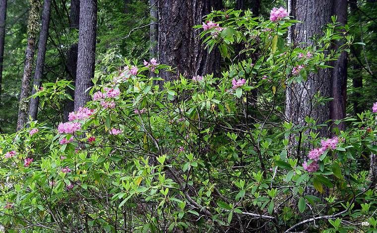 Rhododendrons flowering in Bull of the Woods Wilderness