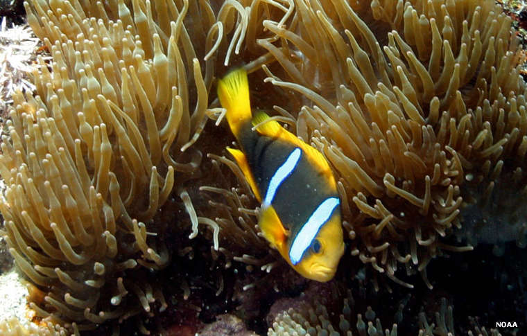 A clownfish at the National Marine Sanctuary of American Samoa