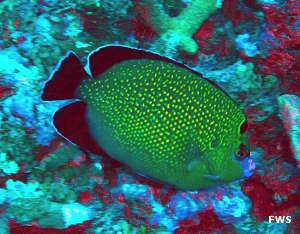 A golden spotted angelfish