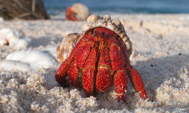 A hermit crab on the beach at Howland Island National Wildlife Refuge