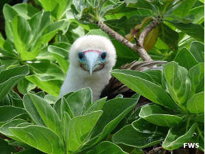 A red-footed booby at Palmyra Atoll