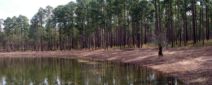 A view of the Ditch Pond shoreline in Conecuh National Forest