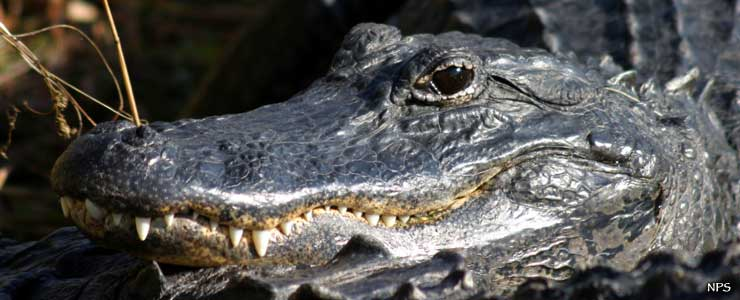 An American alligator at Everglades National Park