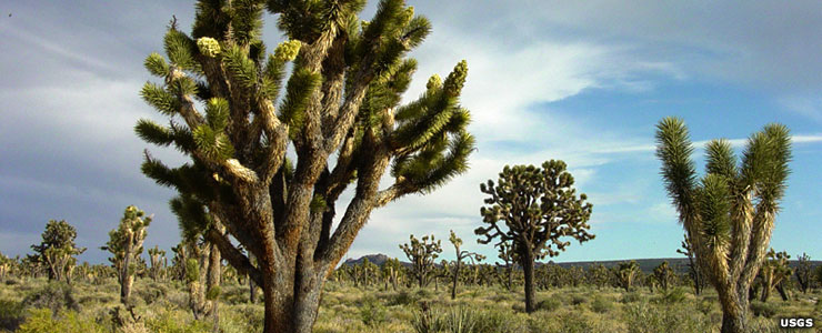 Joshua tree forest at Cima Dome, Mojave National Preserve