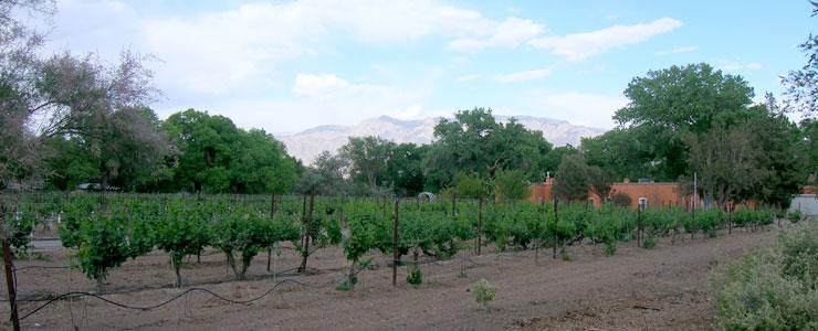 Grape vines along Corrales Road