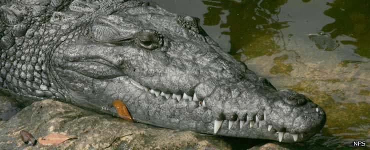 A crocodile at Everglades National Park