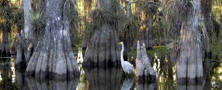 A great egret hunting for lunch among the cypress