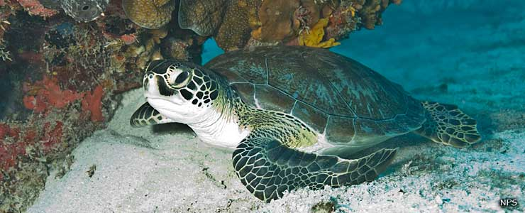 Green sea turtle at Biscayne National Park