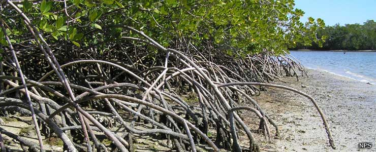 Mangroves beside the water