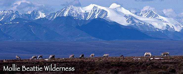 Caribou north of the Brooks Range in Mollie Beattie Wilderness