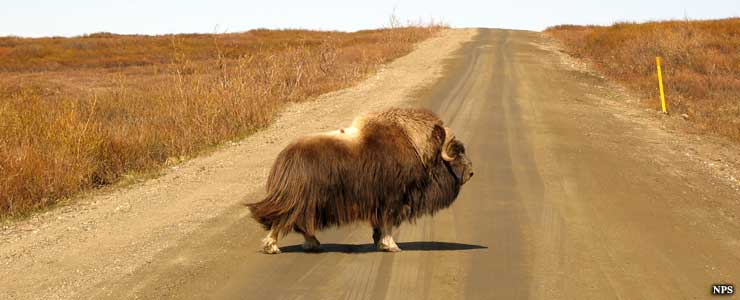 A muskox crossing the road