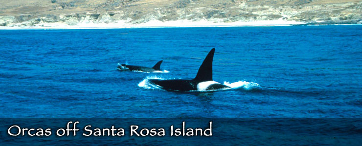 Orcas off the coast of Santa Rosa Island