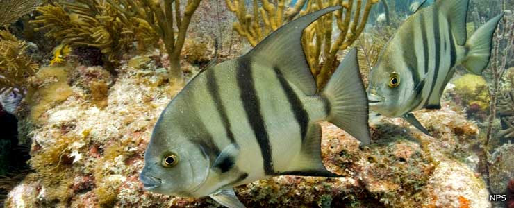 Spadefish swimming among the coral