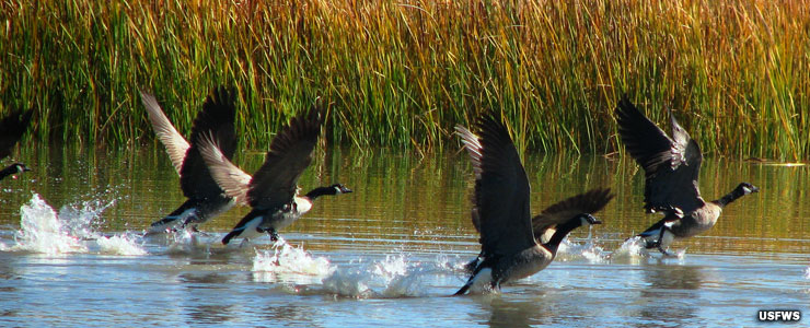 Geese in flight at Stillwater National Wildlife Refuge