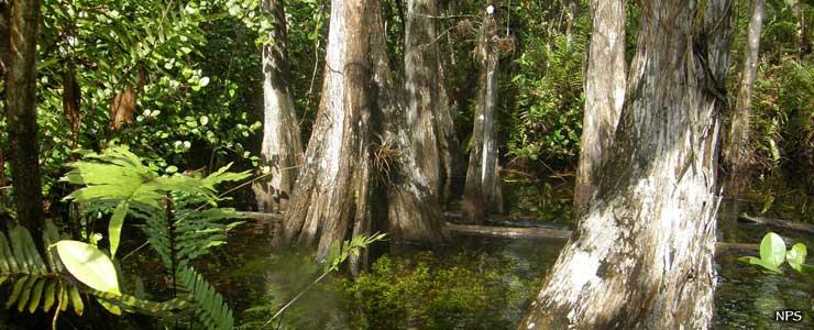 Cypress swamp at Big Cypress National Preserve