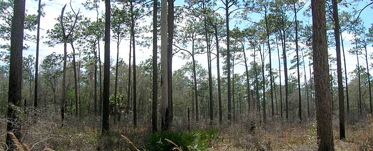 Pine flatwoods on Apalachicola National Forest