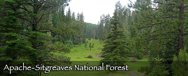 A trail winds its way into the trees at Apache-Sitgreaves National Forest