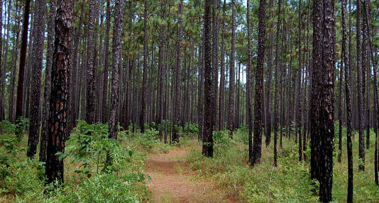 Looking through the young pine forest along the Palmetto Trail in Francis Marion National Forest