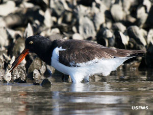 Oyster catcher eating an oyster