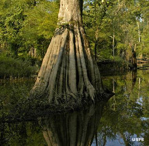 The base of a large bald cypress in a cypress swamp