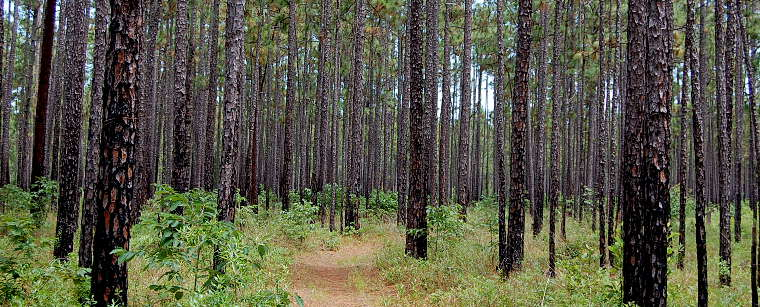 Looking through the young pine forest along the Palmetto Trail
