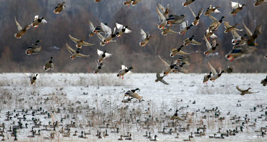 Waterfowl flying above a pond at Tennessee National Wildlife Refuge