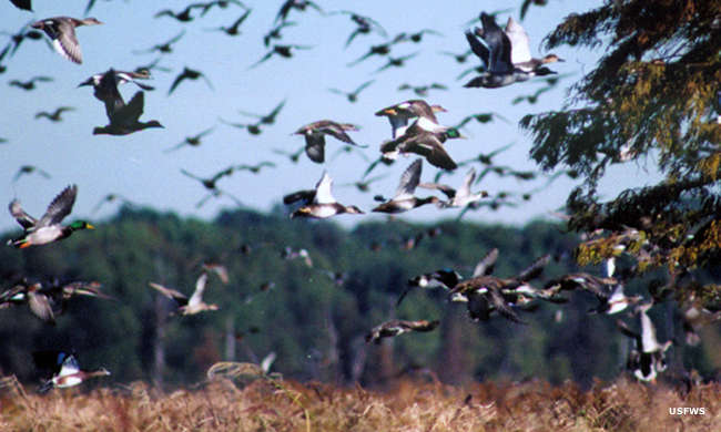 Waterfowl flying at Reelfoot NWR