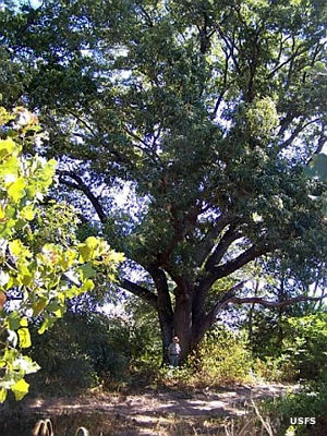 A large red oak at Caddo National Grassland