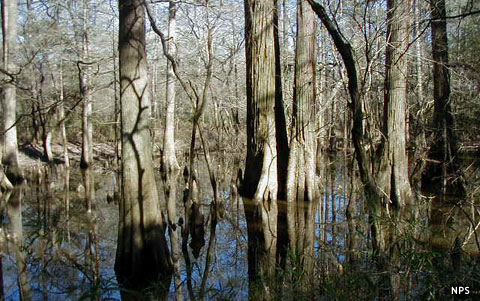 A cypress swamp in Big Thicket National Preserve