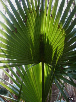 A palmetto frond in Big thicket National Preserve
