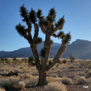 A Joshua tree in the Beaver Dam Wash area