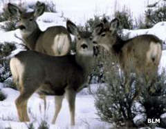 Mule deer at Blackridge Wilderness