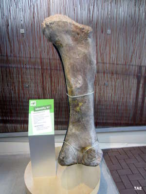 A dinosaur bone on display by itself