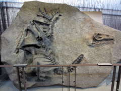 A separate display of a dinosaur skeleton still embedded in stone