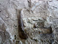A close-up view of fossilized bones still in the quarry wall