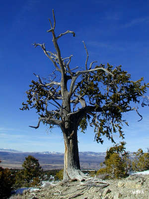 Bristlecone pine along the Fishlake Scenic Byway