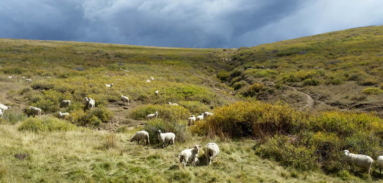 Sheep in the meadows above tree line