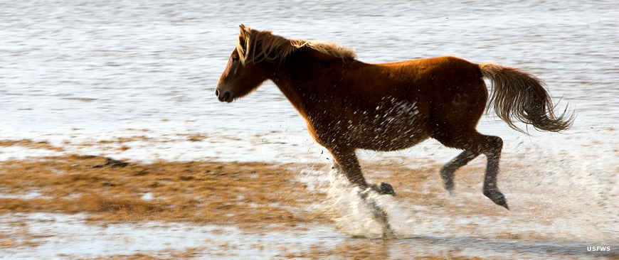 One of the Chincoteague wild horses running on the beach