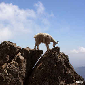 A mountain goat high in Olympic National Forest