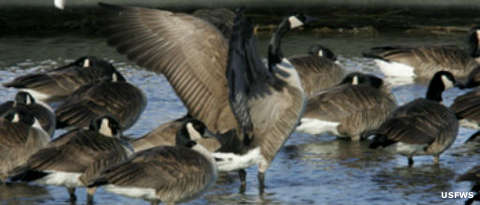 Canada geese at Horicon National Wildlife Refuge