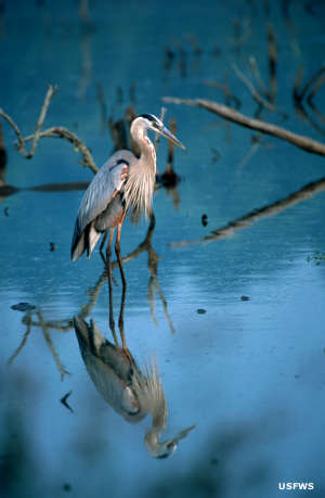 A Great blue heron at Green Bay National Wildlife Refuge