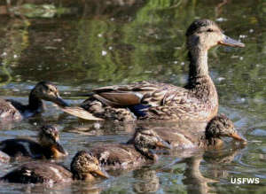 A mallard duck with her brood