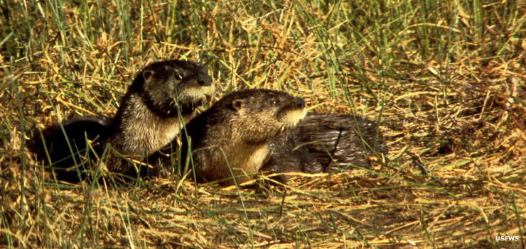 A pair of river otters on Leopold Wetland Management District
