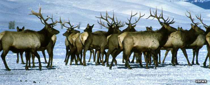 On the National Elk Refuge in the winter