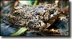 Wyoming toad, Mortenson Lake National Wildlife Refuge